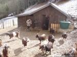 La chèvrerie