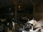 Et du coté des chèvres ... (et brebis Brigasques)
