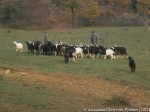 Chez Pierre Bricout, les chiens de chasse ont semé la zizanie : il faut aller chercher le troupeau